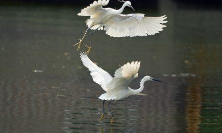 打鸟 白鹭摄影